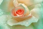 Rose Brodnos